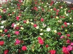roses, lyon