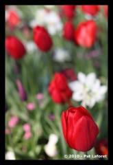 la_tulipe-1.jpg