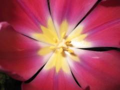tulipe 96.jpg